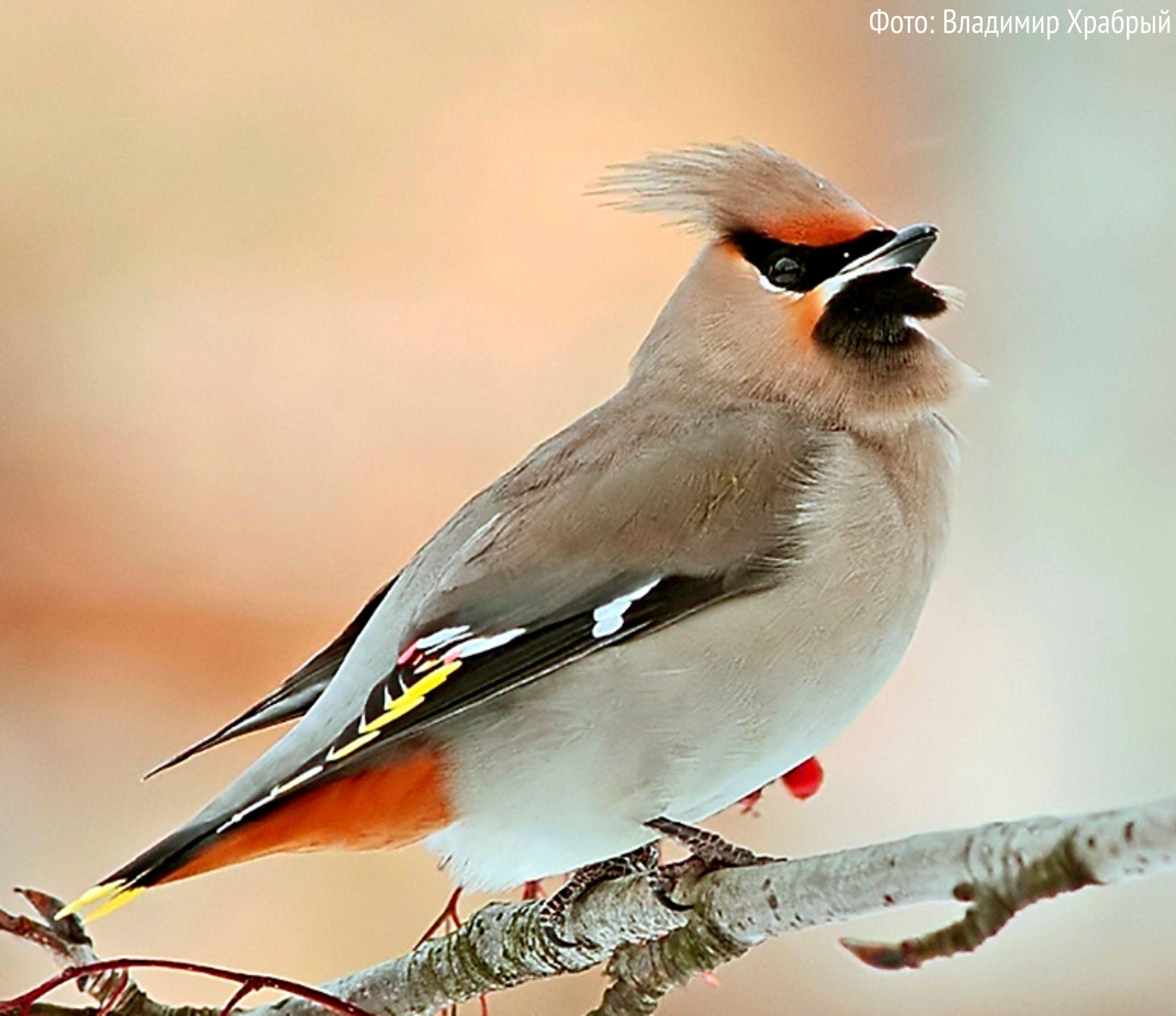 Птицы ленинградской области с картинками