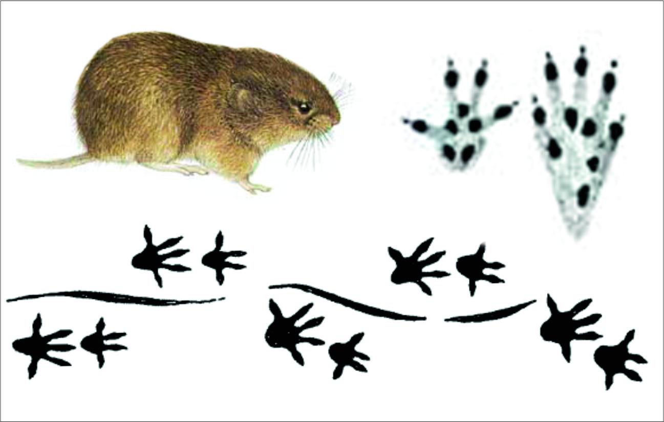 Картинка следа мышки