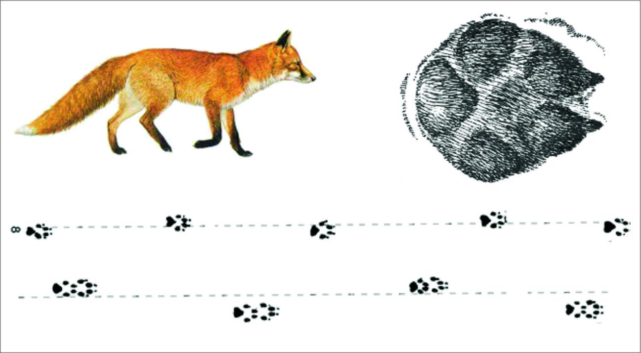 следы животных картинки с названиями и описанием