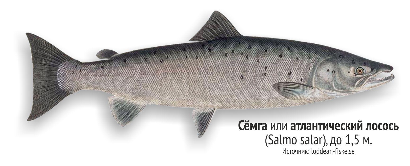 рыбы ленинградской области фото и названия