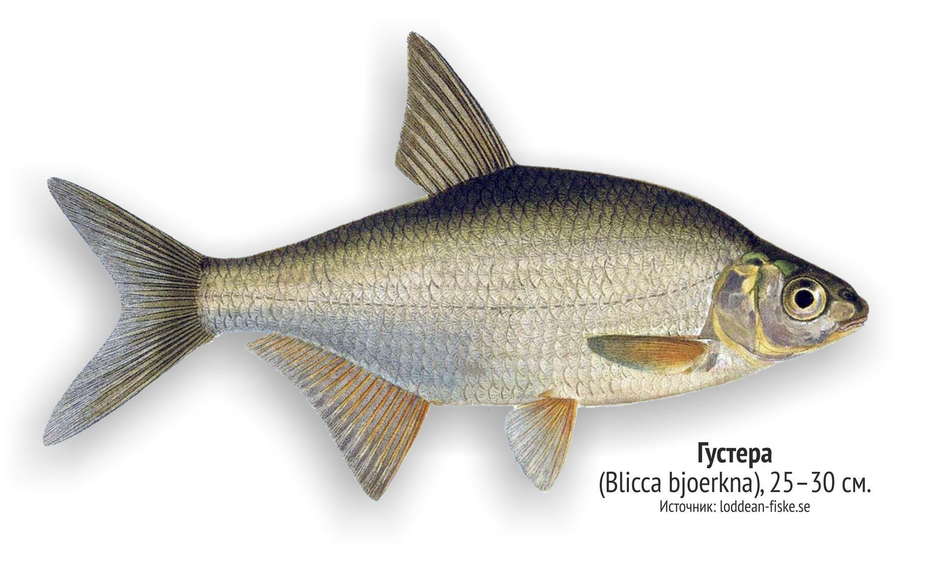 определенно, рыбы ленинградской области фото и названия листья заранее