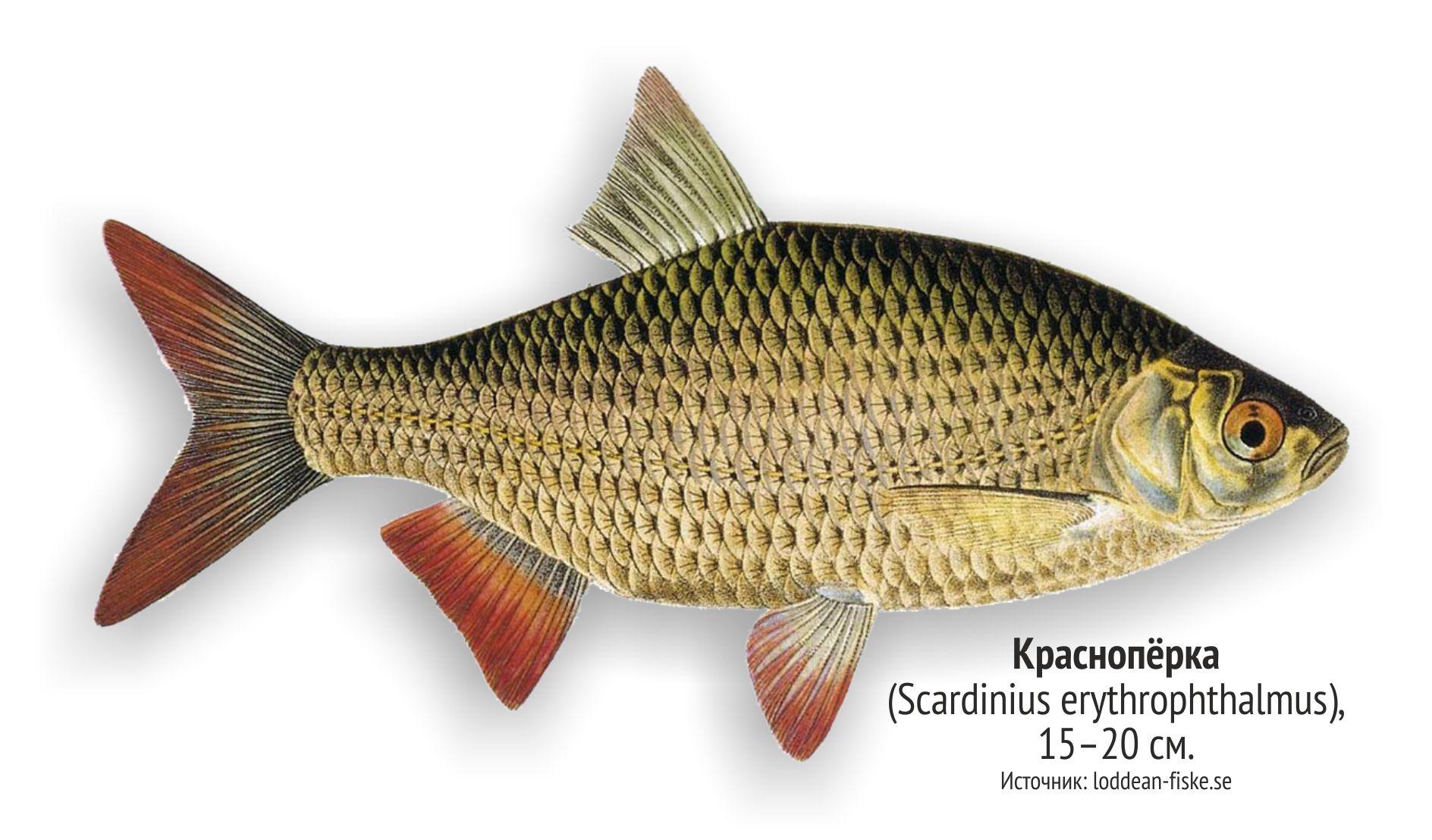 прелесть рыбы ленинградской области фото и названия полон