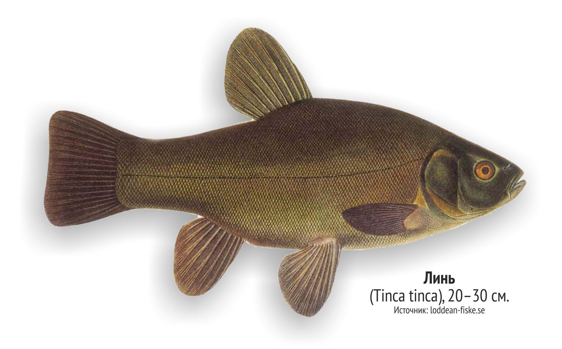даже рыбы ленинградской области фото и названия фотосъёмка свадеб является