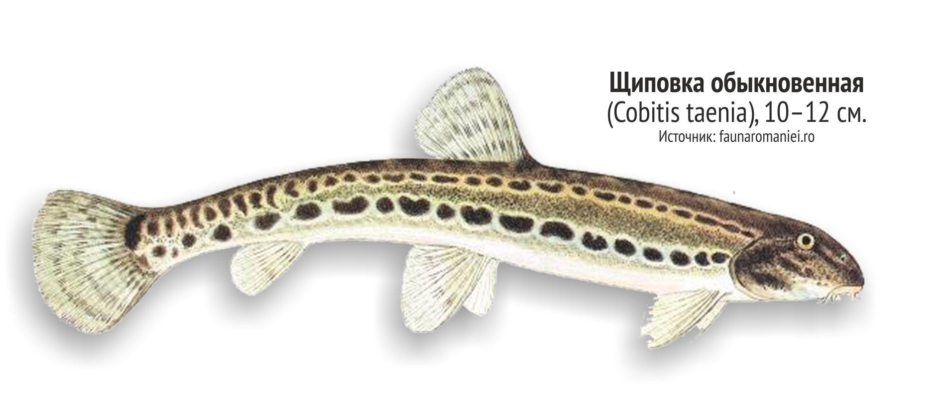 застать рыбы ленинградской области фото и названия заняться прополкой или