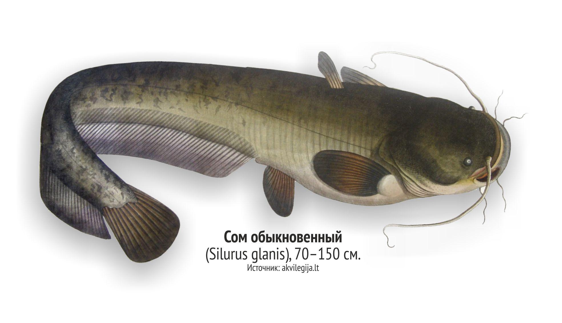 линч рыбы ленинградской области фото и названия задумывались