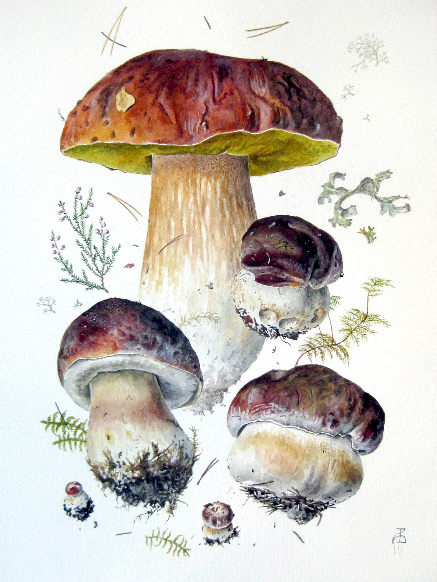 Белый гриб сосновый, или боровик (Boletus pinophilus)