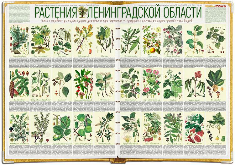 Растения Ленинградской области – 1