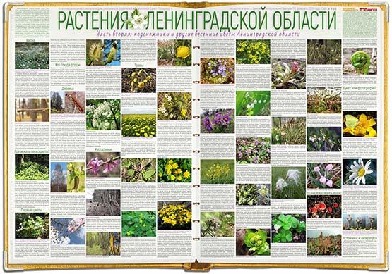Подснежники Ленинградской области