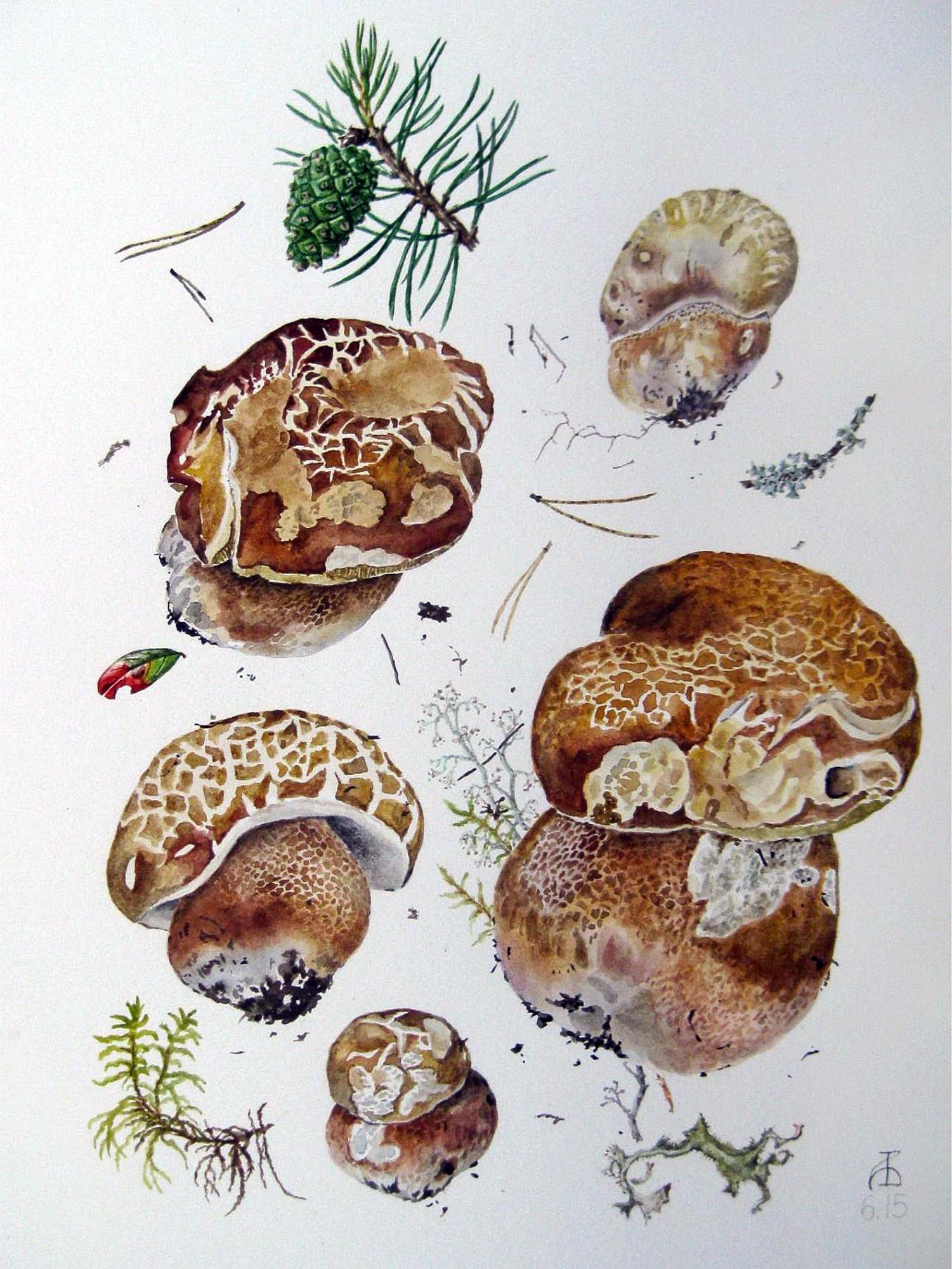 Белый гриб сосновый, ранняя форма