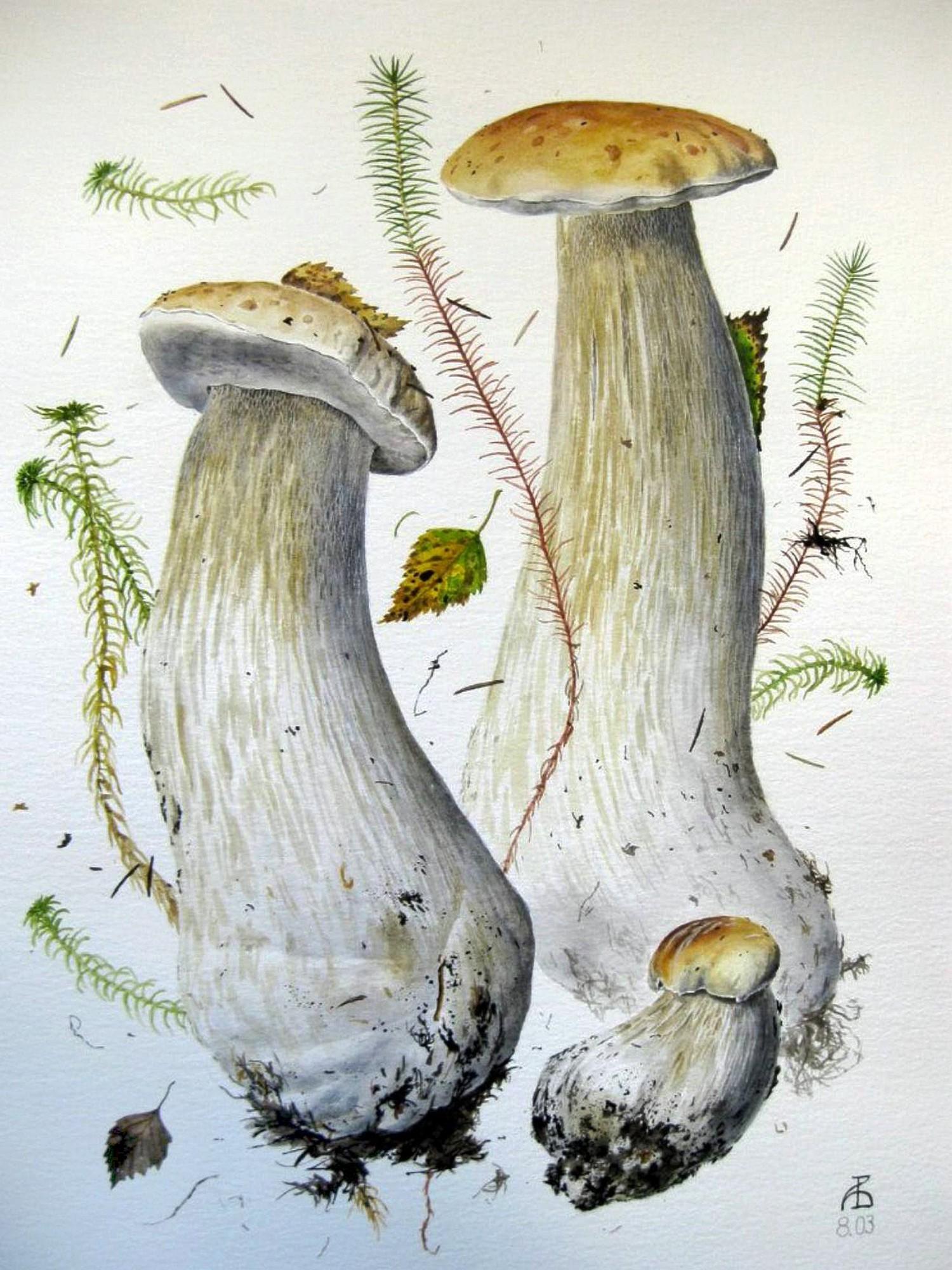 Белый гриб, берёзовая форма