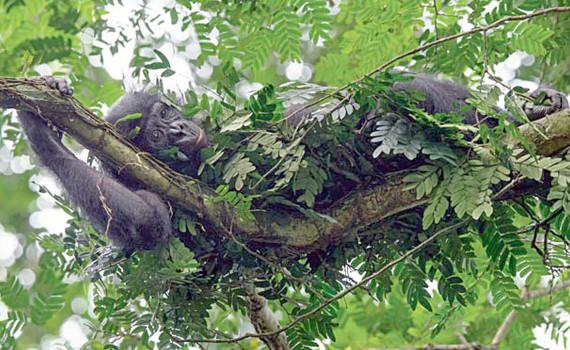 Шимпанзе бонобó в своём гнезде. Заповедник Коколопори, Конго (ngm.nationalgeographic.com / Christian Ziegler).