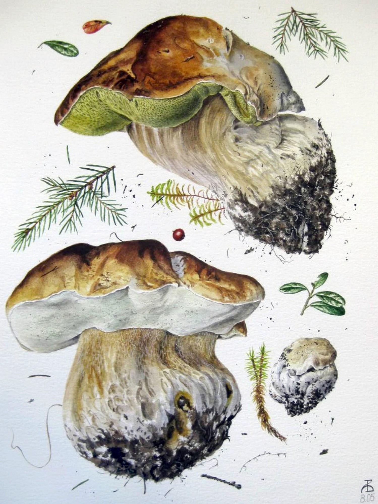 Белый гриб, еловая форма