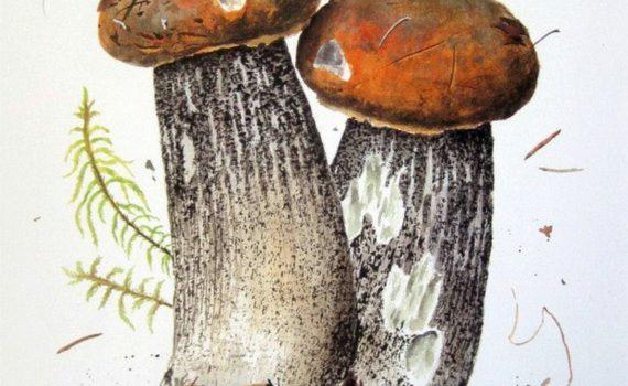 Подосиновик жёлто-бурый, или берёзовый