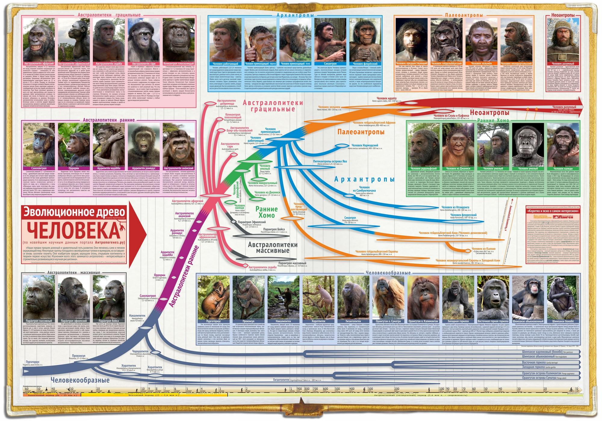 Эволюционное древо человека